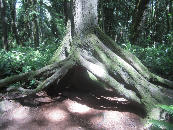 Kids would love to crawl under these roots
