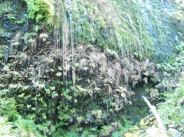 A weeping wall of green with long pinkish tendrils