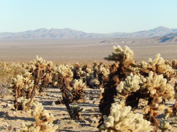 The cholla forest and a slice of eternity behind it