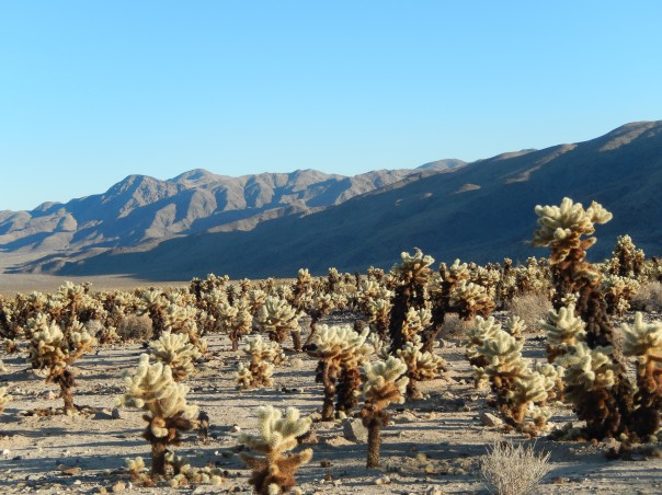 A different angle of the cholla forest