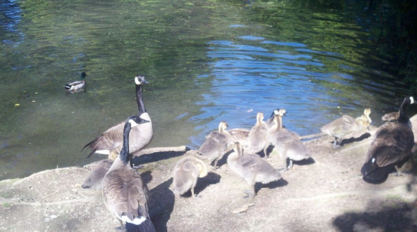 Good Golly, Geese are Everywhere