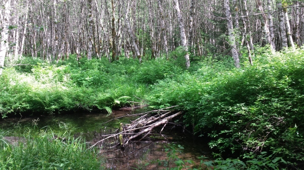 The so called beaver pond, where, ironically, the view is now towards many alders that would have pleased the beavers.