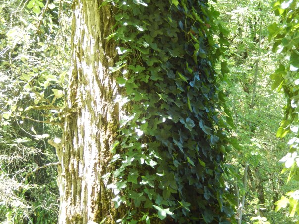 Ivy coating half of the tree trunk
