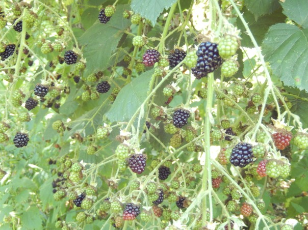 Blackberries at various points along the ripeness continuum.