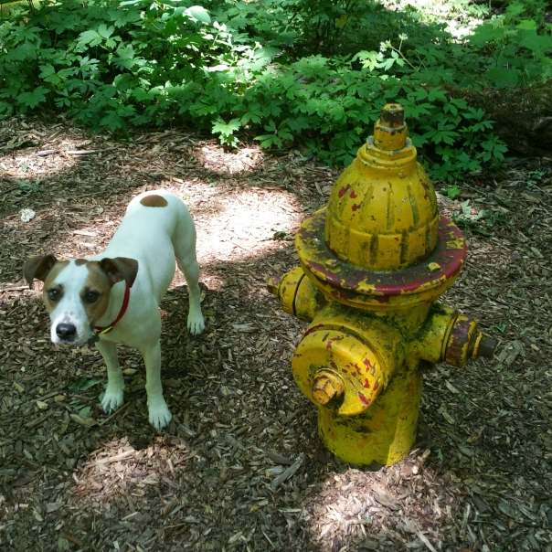 A weak but game Jackie Chan finds a hydrant in the Mary S. Young woods.