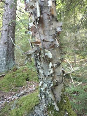 Love this birch bark