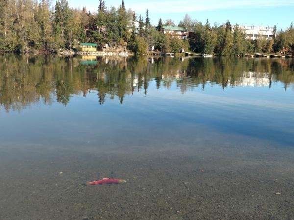 Sockeye in Lake Wasilla.