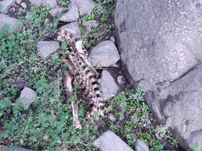 This may be a beaver skeleton